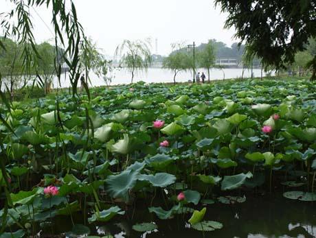 東園の蓮の花と大運河