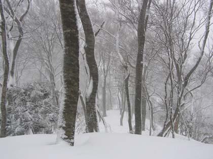 黒峰山頂のブナ林